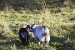 Two young pygmy goats. Royalty Free Stock Photo