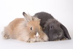 Two young rabbit, isolated stock photo
