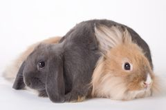 Two young rabbit, isolated Royalty Free Stock Image