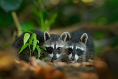 Two young Raccoon, Procyon lotor, hidden in the green vegetation near beach in National Park Manuel Antonio, Costa Rica. Wildlife stock photography