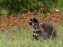 Two Young Raccoons in Orange Wildflowers Royalty Free Stock Photo
