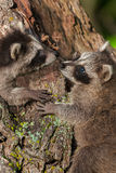 Two Young Raccoons (Procyon lotor) Nose to Nose Stock Image