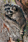 Two Young Raccoons (Procyon lotor) in Tree Stock Photos
