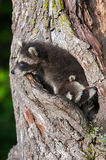 Two Young Raccoons (Procyon lotor) Tucked into Tree Stock Image
