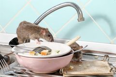 Two young rats near the water faucet and dishes with the leftovers of food on a plate on sink at the kitchen. stock photography