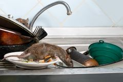 Two young rats on the sink with dirty crockery at the kitchen.