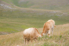 Two young red cows grazing. Grass in a sunny day Stock Photos