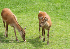 Two young red deer find a bread-roll Royalty Free Stock Photo
