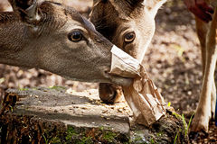 Two young red deers eating seeds from a paper bag Royalty Free Stock Images