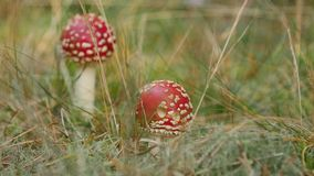 Two young red and white fly agarics growing in the meadow by the forest on summer day. Close up stock footage