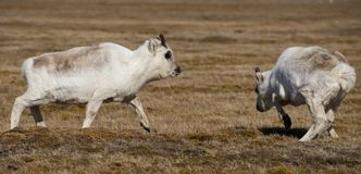 Two young reindeer playing in a field Stock Image