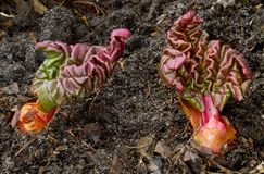 Rhubarb emerging from the soil early in spring Stock Images