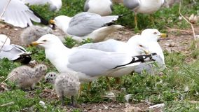 Two young Ring-billed Gull with adults stock video footage