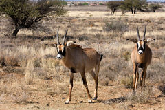 Two young roan antelope Royalty Free Stock Images