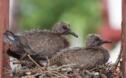 Two young rock pigeon Stock Images