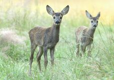 Two young roe deers Royalty Free Stock Image