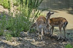 Two young roes and fawn Stock Photo