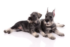 Two young schnauzers Stock Images