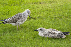 Two young seagulls. On the grass Royalty Free Stock Images