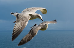 Two Young Seagulls Flying Formation Stock Photography