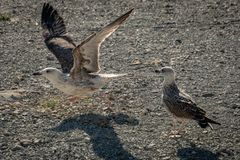 Two young seagulls Larus marinus on a pebble beach. stock image