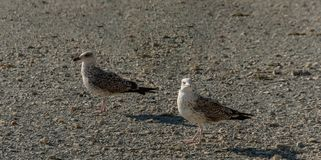 Two young seagulls Larus marinus walk along the shore of small gray pebbles at sunset royalty free stock photos