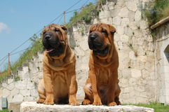 Two young sharpei brother Stock Images