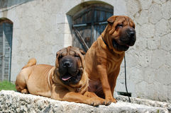 Two young sharpei brother. Two, young, red sharpei brother Stock Image