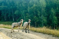 Two young sheep road stock photography