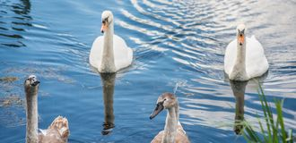 Two young signets with mother swan royalty free stock photo