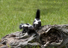 Two Young Skunks on a Log Royalty Free Stock Photo
