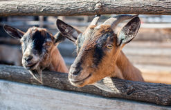 Two young, small goatling peeping from behind a wooden fence. Royalty Free Stock Image