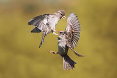 Two young Sparrow put up a fight stock image