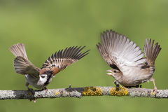 Two young Sparrow put up a fight. Two young brown Sparrow put up a fight on a tree branch opening the wings and feathers stock photos