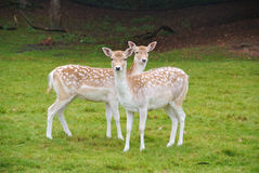 Two young Spotted Fawns looking Stock Photos