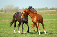 Two young stallion Stock Photography