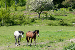 Two young stallions Royalty Free Stock Image