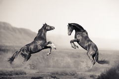 Two young stallions fighting in desert. Two beautiful young stallions fighting in the desert in monochromatic tones Stock Photos