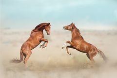 Two young stallions fighting. Two beautiful young stallions playing in desert Stock Images