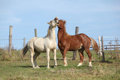 Two young stallions playing together Stock Photography