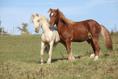 Two young stallions playing together Stock Image