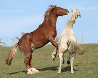 Two young stallions playing together Stock Photo
