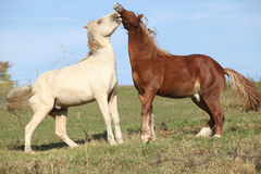 Two young stallions playing together Stock Photos