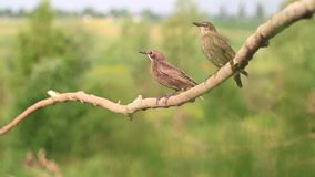 Two young starlings sitting on a branch stock footage