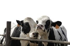 Two young steers being fattened for market. Two steers by the fence of a feedlot with the background removed and isolated stock images