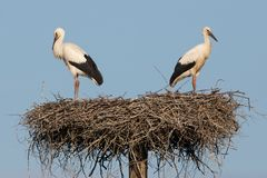 Two storks in the nest. Royalty Free Stock Photo