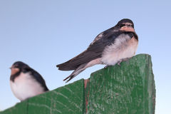 Two young swallows Royalty Free Stock Images