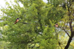 Two young swallows. On a wire in a sunny day Stock Photography
