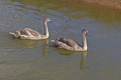 Two young swanlings Royalty Free Stock Photos