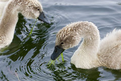 Two young swans are eating Royalty Free Stock Images